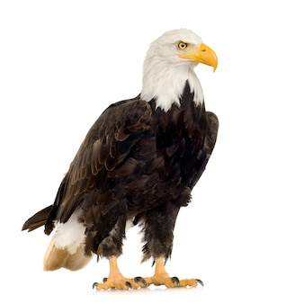 Bald eagle (22 years) - haliaeetus leucocephalus in front on a white isolated