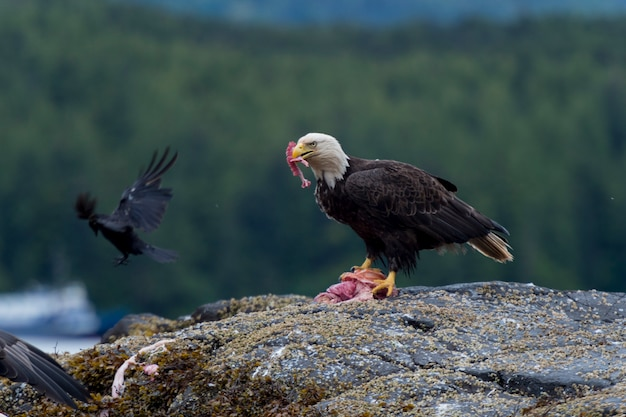 Bald eagle feeding on prey, skeena-queen charlotte regional district, haida gwaii, graham island, br