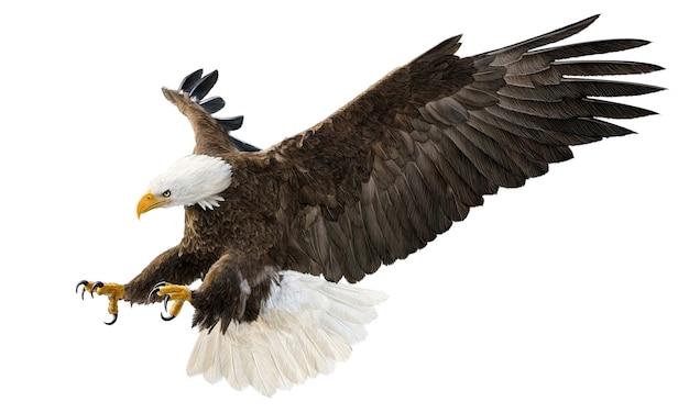 白頭ワシの飛行急降下攻撃手描きと白い背景のイラスト
