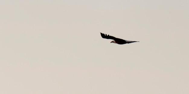 カナダのオンタリオ州、レイク・オブ・ザ・ウッズの空を飛んでいる禿げられた鷲(haliaeetus leucocephalus)
