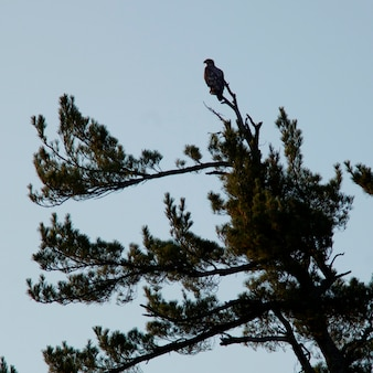 Bald eagle (haliaeetus leucocephalus) perching on a tree, lake of the woods, ontario, canada