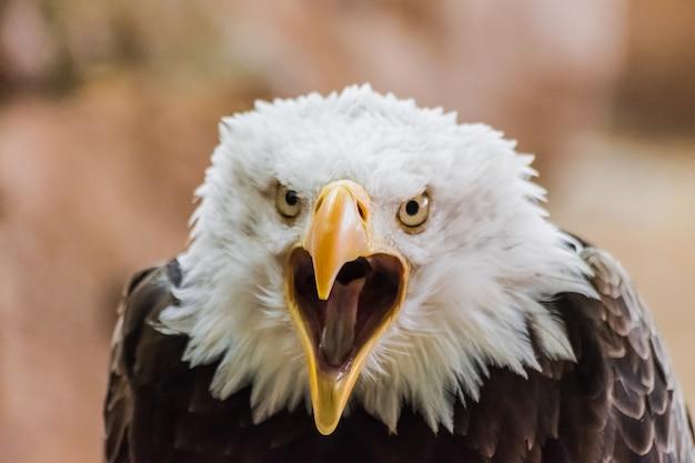 Bald eagle (haliaeetus leucocephalus) with open beak looking at you