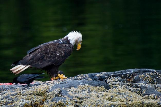 Лысый орел на острове, региональный район скина-королевы шарлотты, хайда гвайи, остров грэм, брити