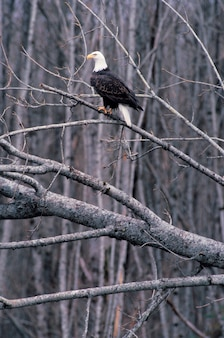 Bald eagle perched on bare tree