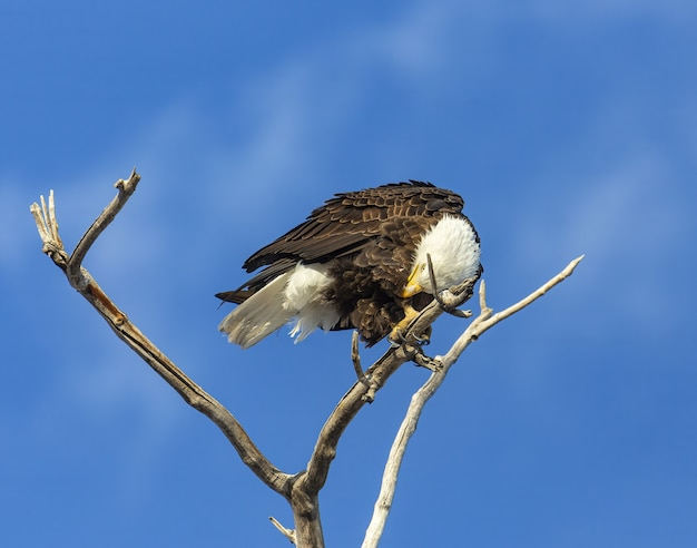 Aquila calva appollaiata su un albero