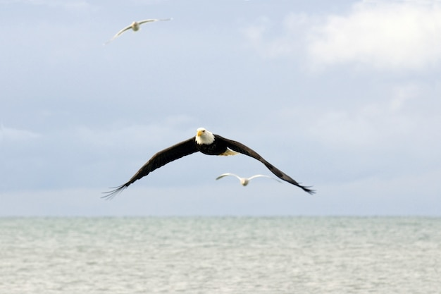 Bald eagle and seagulls flying over water
