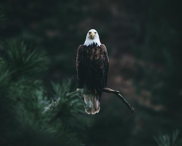 Aquila calva su un ramo di un albero alla ricerca della sua preda