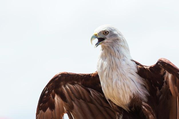 Bald eagle on white background.