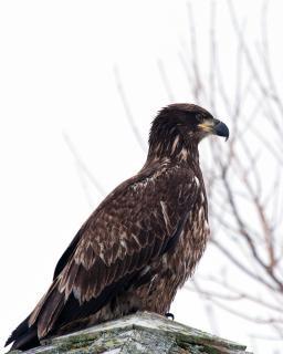 Bald eagle  wing