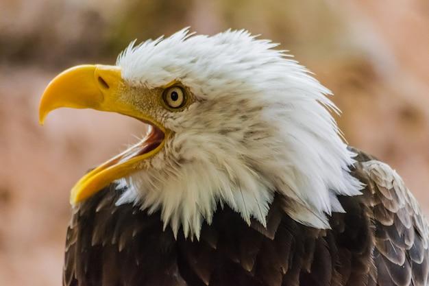 Bald eagle with open beak (haliaeetus leucocephalus)