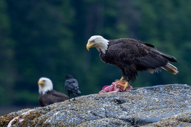 Bald eagles on a rock, skeena-queen charlotte regional district, haida gwaii, graham island, british