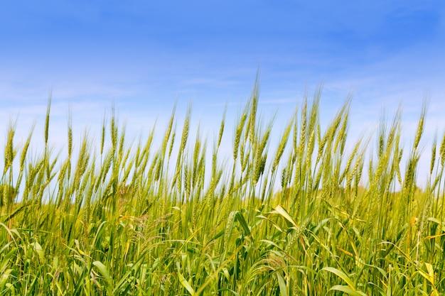 フォルメンテラ島のバレアレスグリーン小麦畑