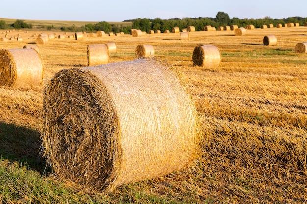 곡물을받은 후 묶인 짚 베일. 여름에 농업 분야에서 사진입니다. 맑은 맑은 날