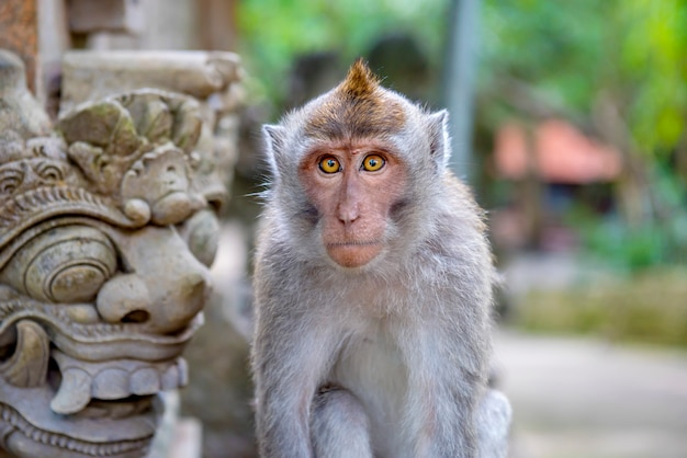 Balinese long-tailed monkey at the sanctuary