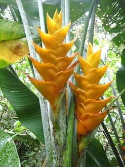 グアドループ花balisiersカリブ海