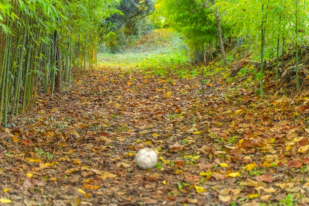 Ball in the middle of an autumn landscape forest bamboo and golden trees background with leaves