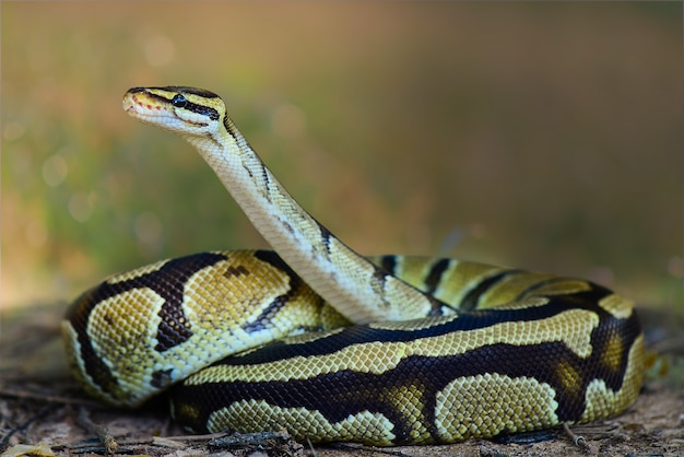 Ball python snake on grass in tropical forest