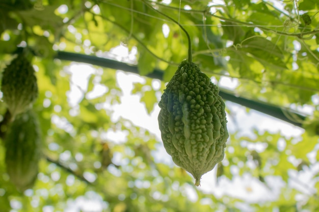 Balsam apple, balsam pear,  fruit in garden ready to harvest  with copy space