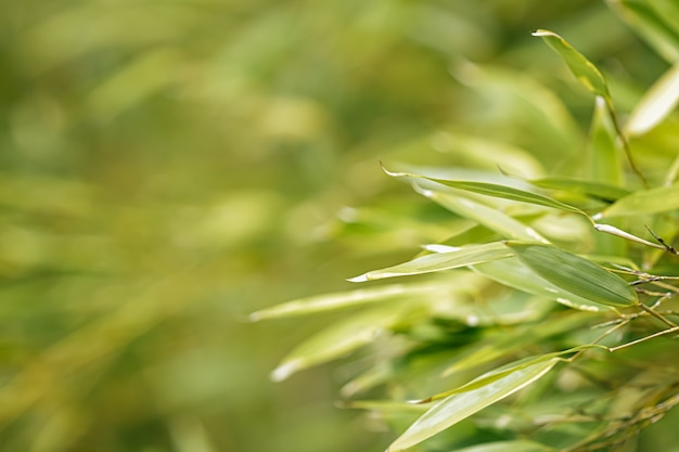 Bamboo background fresh leaves on tree as nature ecology and environment concept