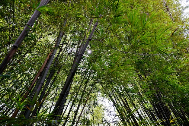 Bamboo. bamboos forest. background. space for your text