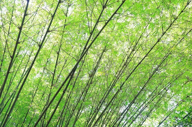 Bamboo branch in bamboo forest.