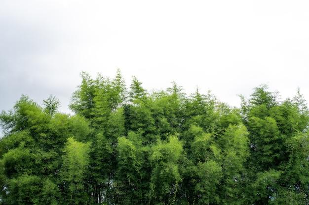 白い空を背景に竹の枝