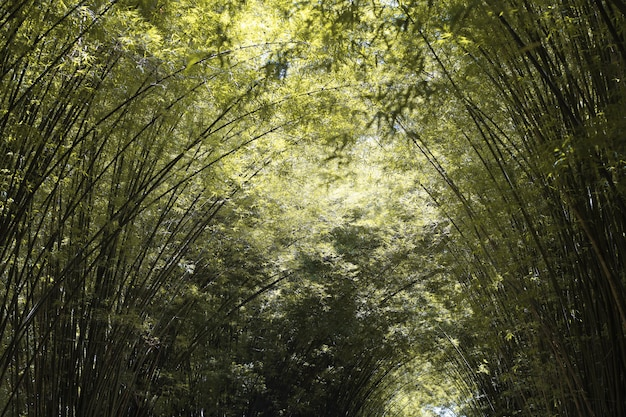 The bamboo forest in autumn season at nature park