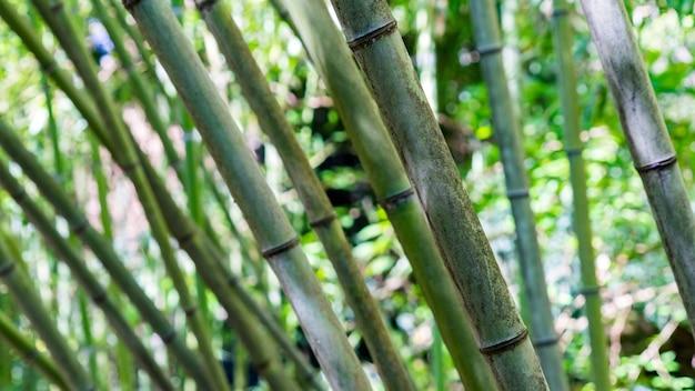 竹林の背景、アブハジアのスフミの樹木園。