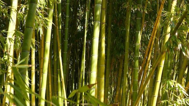 Бамбуковый лес, экзотическая азиатская тропическая атмосфера. зеленые деревья в медитативном саду фэн-шуй дзэн. тихая спокойная роща, утренняя гармония свежести в зарослях. японская или китайская натуральная восточная эстетика