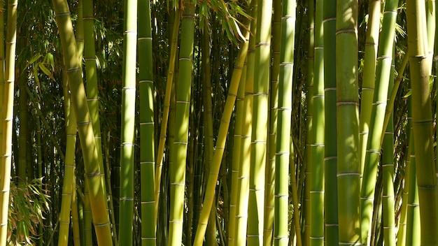 Бамбуковый лес экзотическая азиатская тропическая атмосфера зеленые деревья в медитативном фен-шуй дзэн сад тихая спокойная роща утренняя гармония свежесть в зарослях японская или китайская естественная восточная эстетика