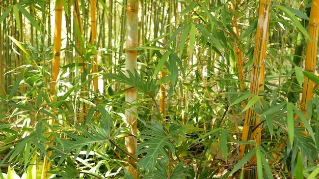 Бамбуковый лес, экзотические азиатские тропические деревья в японском или китайском восточном саду фэн-шуй-дзэн.