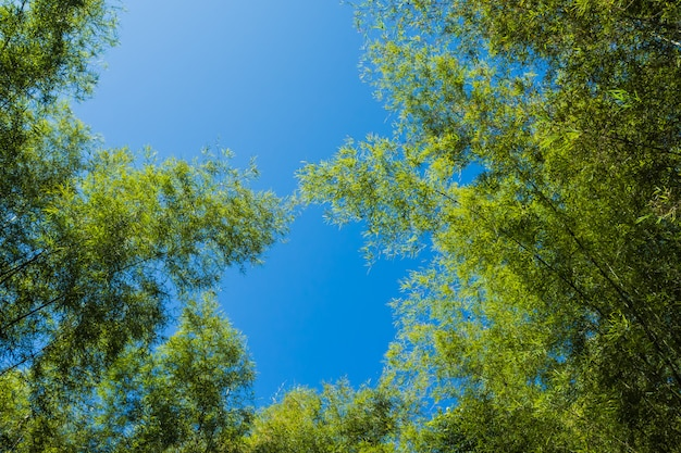 푸른 하늘 대나무 숲