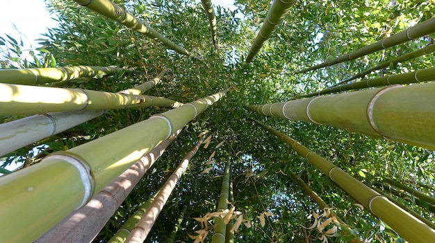 Bamboo grove, bamboo forest natural green