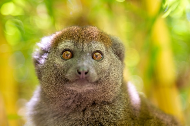Bamboo lemur sits on a branch and watches the visitors to the national park.