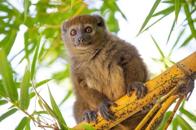 Бамбуковый лемур сидит на ветке и наблюдает за посетителями национального парка.