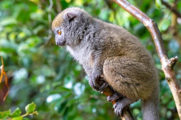 Bamboo lemur sitting on a branch