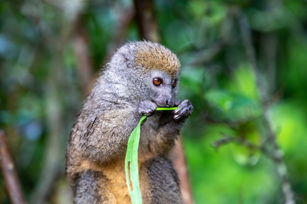 Bamboo lemur with a blade of grass on a branch