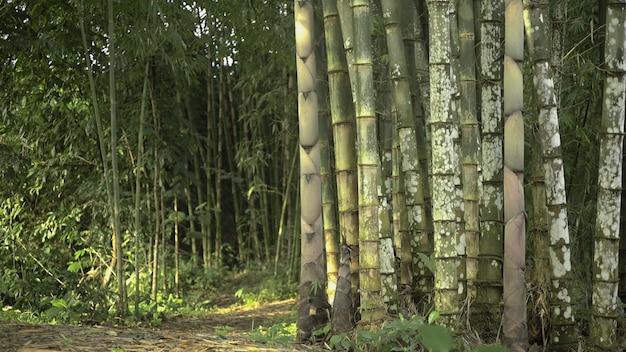 Bamboo pantation