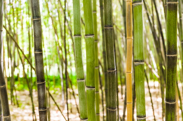 Bamboo stem growing in forest