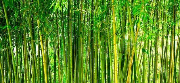 Бамбуковые заросли в парке зеленом фоне с тропическим бамбуком веб-баннер для сайта
