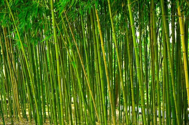Бамбуковые заросли в парке зеленом фоне с тропическим бамбуком