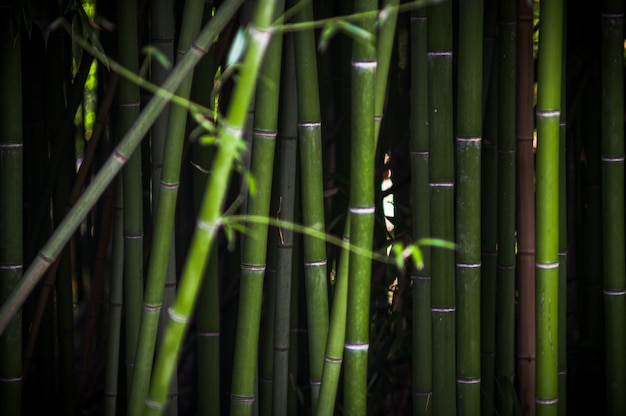 Bamboo thickets in the park