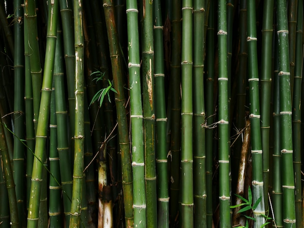 Bamboo tree nature background