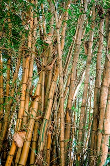 Bamboo trunks with green leaves in the middle of the jungle