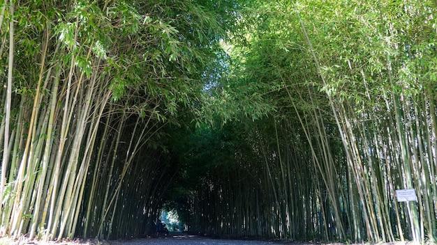 Bamboo tunnel in arboretum of sukhum, abkhazia.