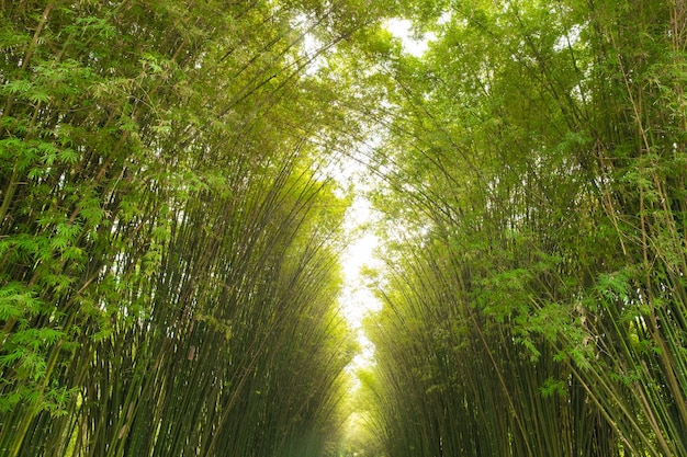 Bamboo tunnel reforestation for sustainable development