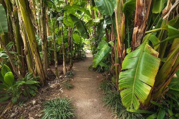 Bana tree plantation
