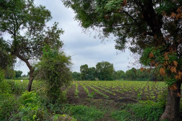 インドのバナナ農業分野。