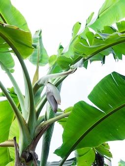 Цветки банана свисают с бананового дерева в саду над белым, с высоким содержанием белка для веганов