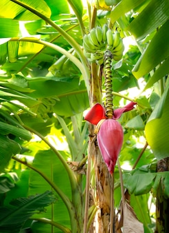 Banana blossom hanging on banana tree  in garden